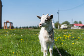 Close up black and white baby goat on a chain against grass flowers building on a background. White ridiculous kid is grazed on a farm, on a green grass. Animal. Agriculture. Pasture