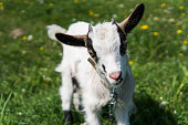 Close up black and white baby goat on a chain against grass flowers on a background. White ridiculous kid is grazed on a farm, on a green grass. Animal. Agriculture. Pasture