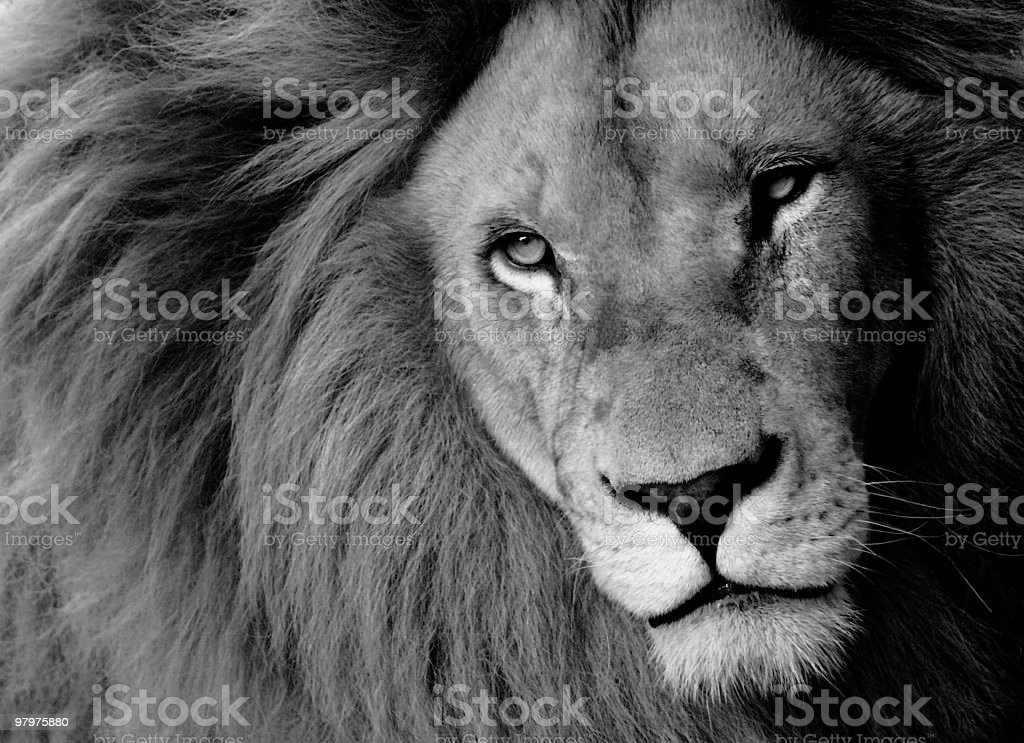 Close up black and white picture of a big lion royalty-free stock photo