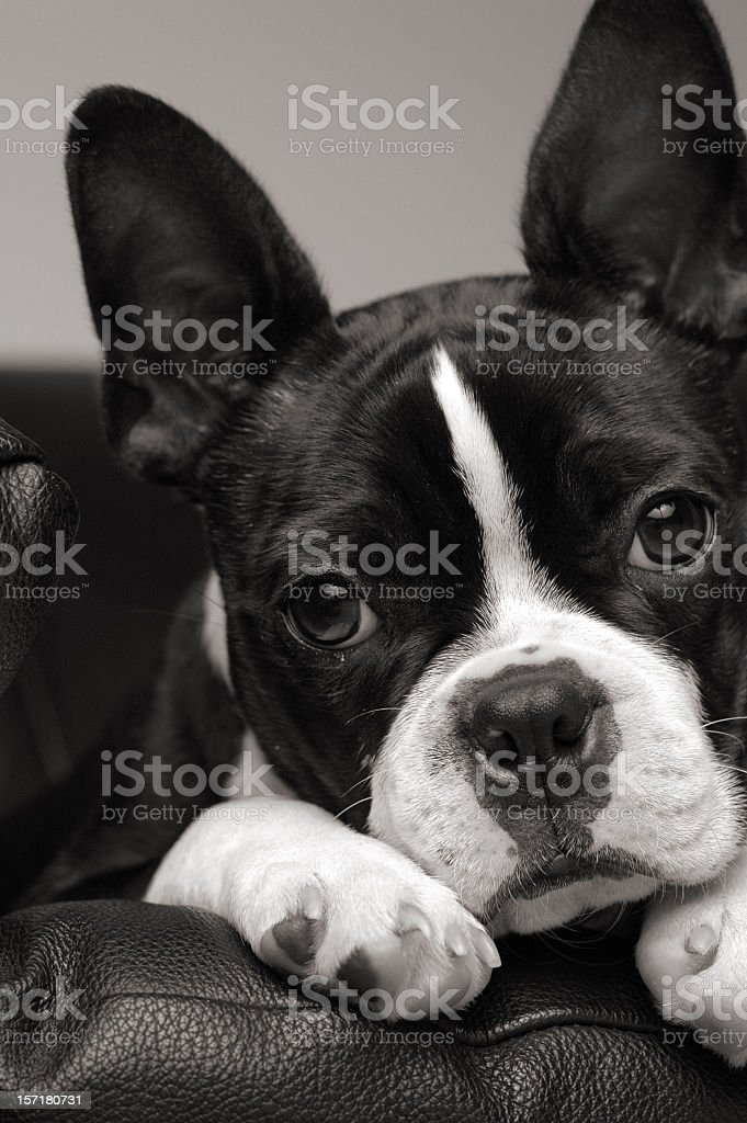 Close Up Black and White Portrait of Boston Terrier Dog royalty-free stock photo