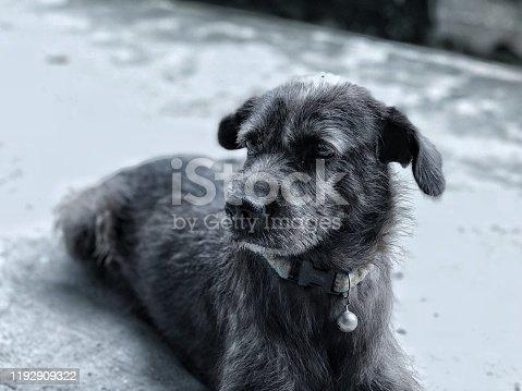 Close up black face dog feeling down and lonely, it's waiting for owner with hopeful, beautiful hairy dog, the eyes concentrate with people who coming. Terrier dog, animal wildlife background.