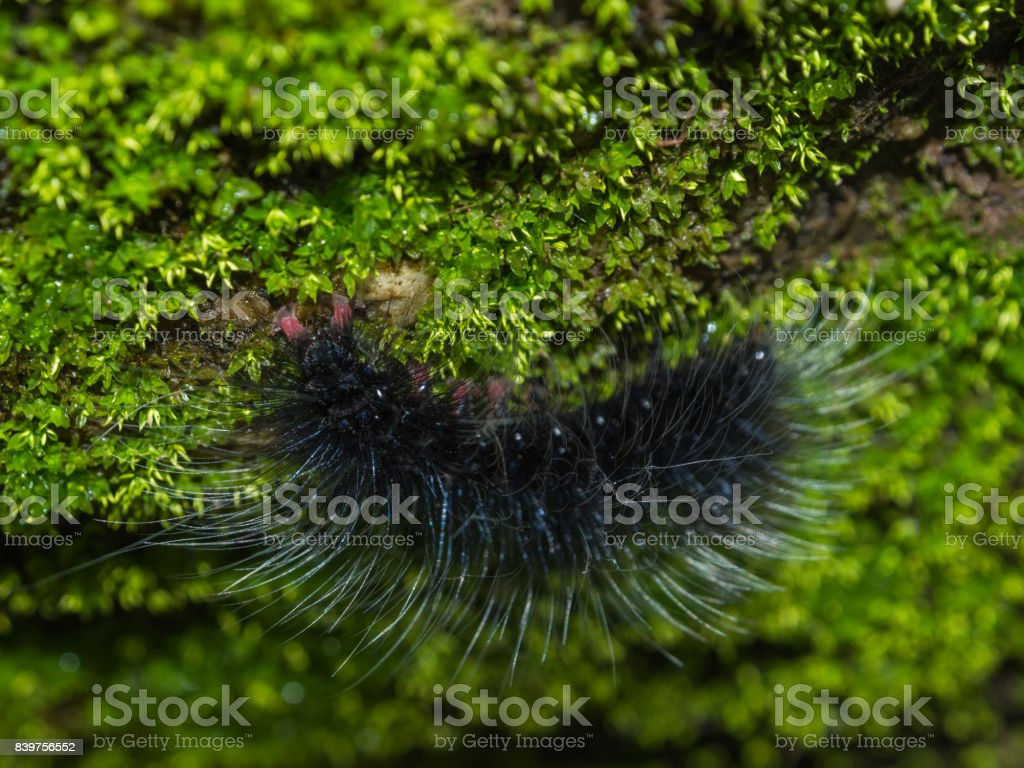 Close up black warm to eat tree leaf it so dangerous stock photo