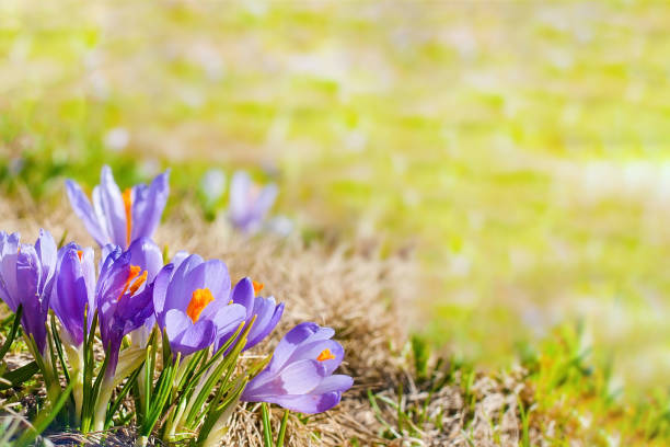 Close up blooming crocuses spring flowers stock photo