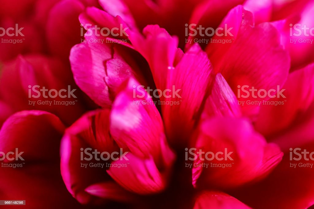 Close up blossoming fuchsia peony in spring - Royalty-free Beauty Stock Photo