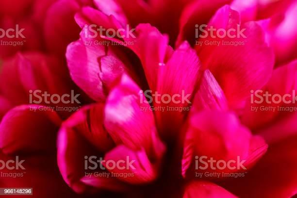 Closeup Van Bloeiende Fuchsia Pioen In Het Voorjaar Stockfoto en meer beelden van Beschrijvende kleur