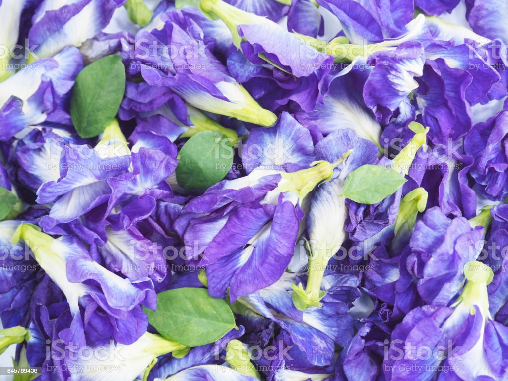 Close up blue butterfly pea flowers. Herb plant. stock photo