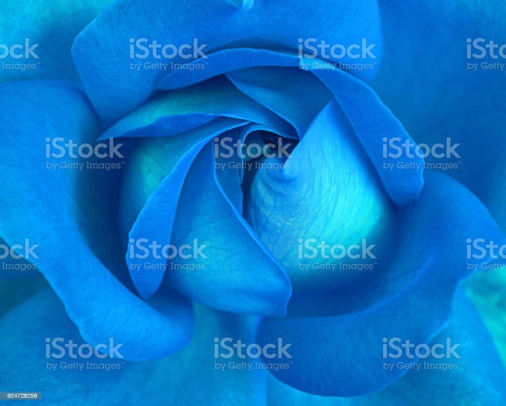 Close up Blue Rose stock photo