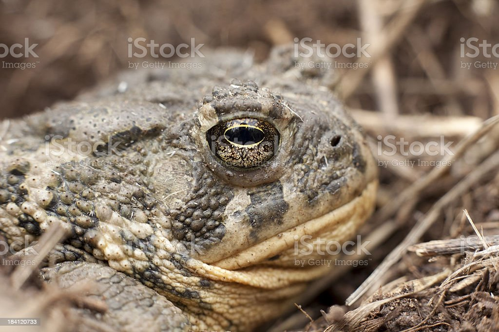 Close up boreal toad in bear creek lake sp colorado stock photo close up boreal toad in bear creek lake sp colorado royalty free stock photo sciox Image collections