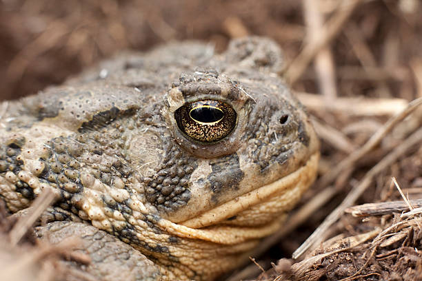 Royalty free boreal toad pictures images and stock photos istock close up boreal toad in bear creek lake sp colorado stock photo sciox Choice Image
