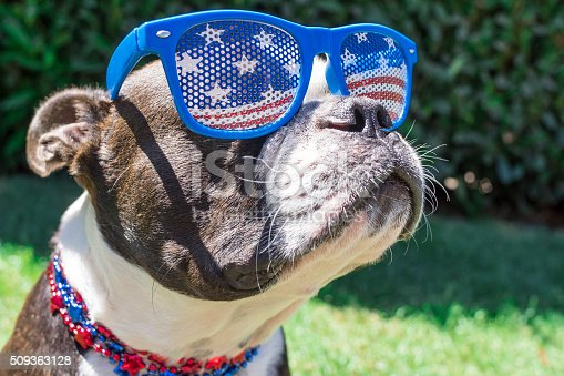 509363072 istock photo Close Up Boston Terrier Dog Wearing Stars and Stripes Sunglasses 509363128