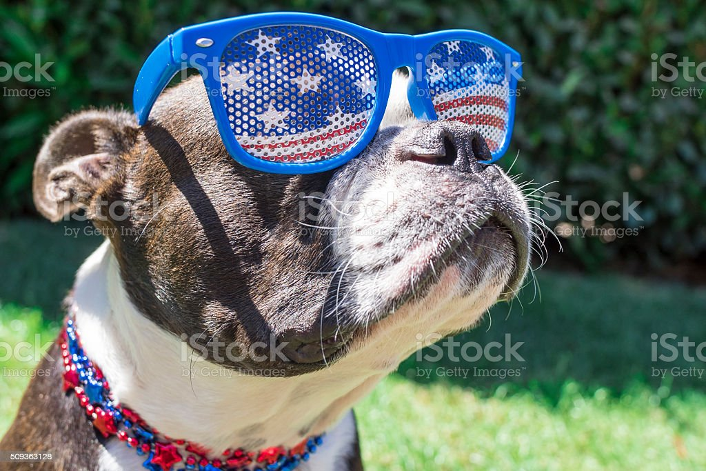 Close Up Boston Terrier Dog Wearing Stars and Stripes Sunglasses stock photo