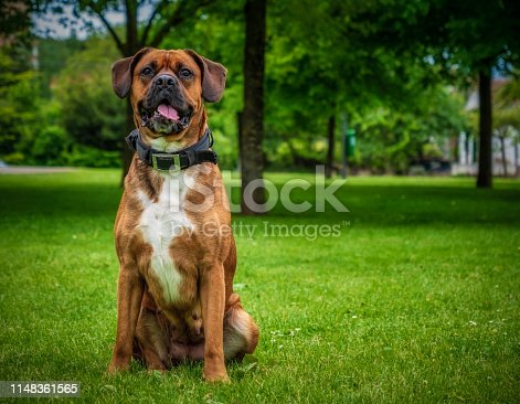 Nice portrait of a boxer dog sitting in a public park.