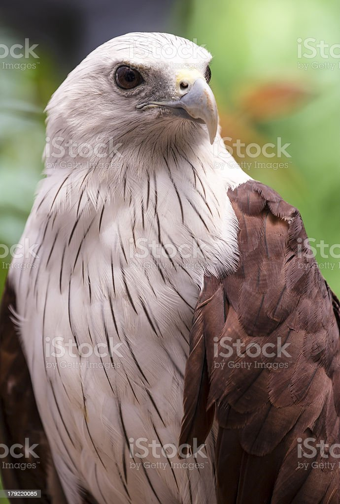Close up Brahminy Kite (Haliastur indus) Red-backed royalty-free stock photo