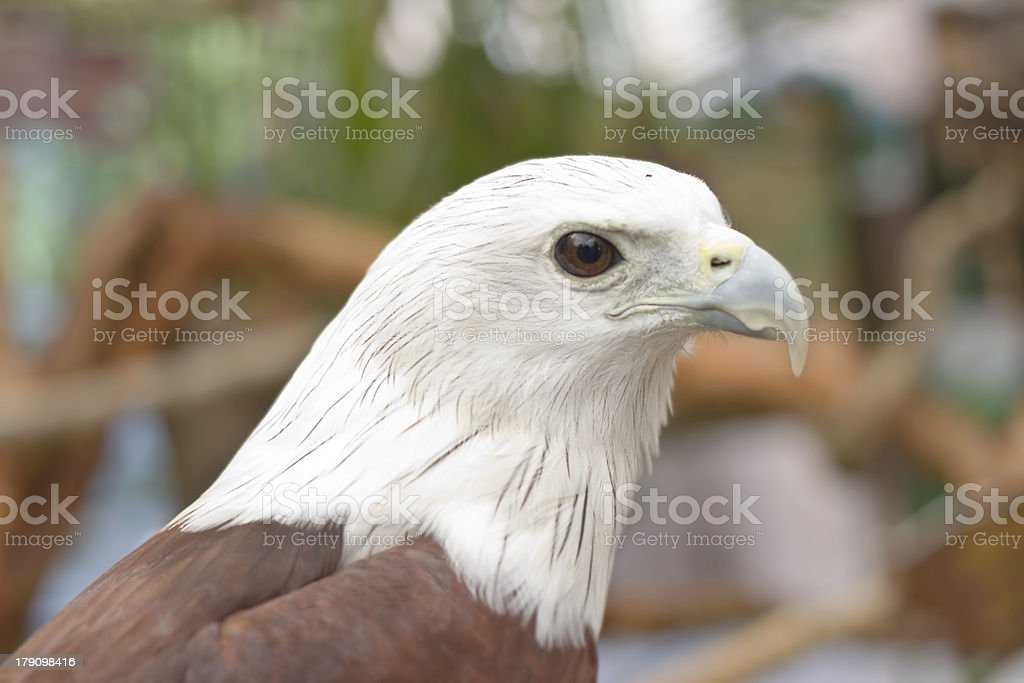 Close up Brahminy Kite ,Red-backed Sea Eagle royalty-free stock photo