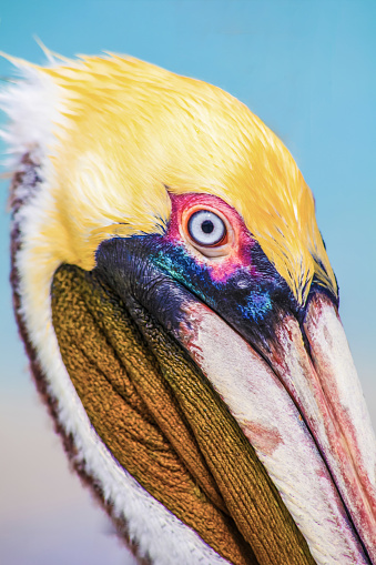 Close up bright head of Pelican on the beach Varadero, Cuba. Outdoors, blue sea as a background, copy space.