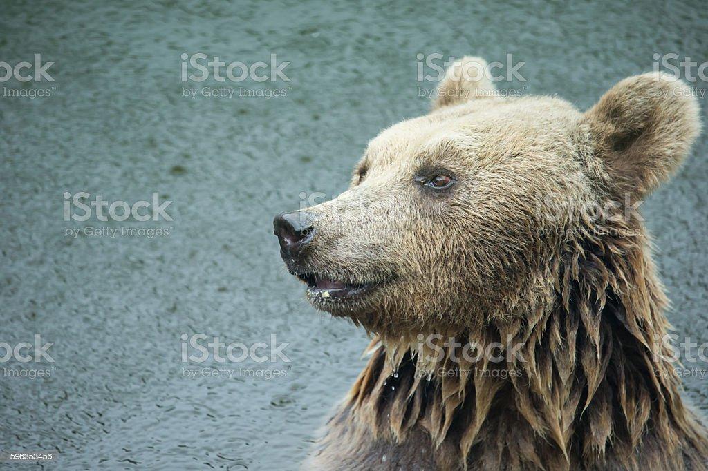 Close up brown bear (Ursus arctos)  in raining royalty-free stock photo
