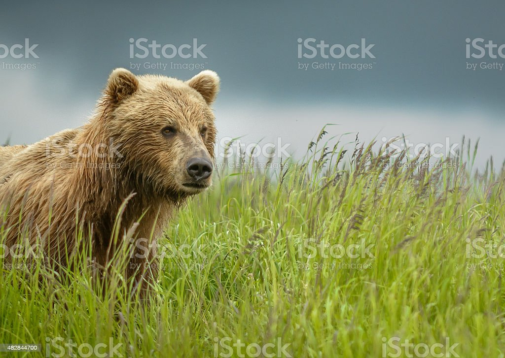 Close Up Brown Bear Landscape in Grass stock photo