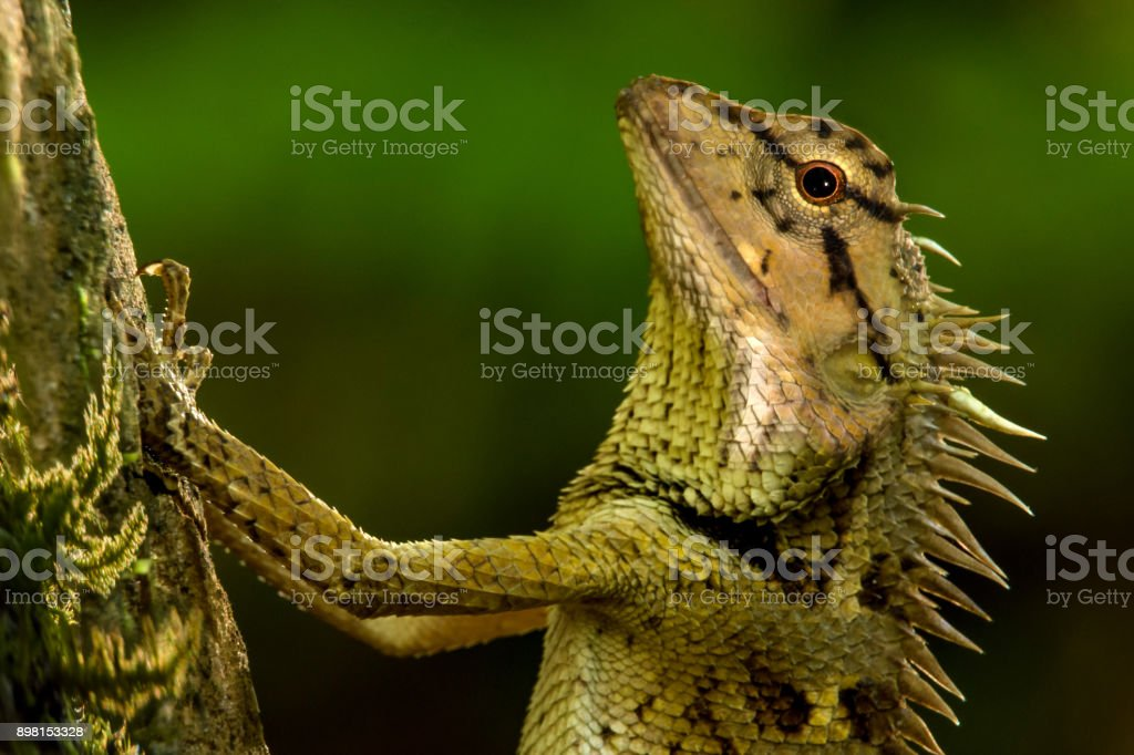 Close up brown chameleon, garden lizard perched on the tree. stock photo