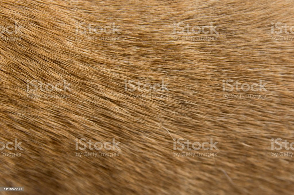 Close up Brown dog fur background royalty-free stock photo