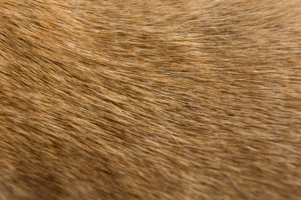 Close up Brown dog fur background Close up Brown dog fur background animal hair stock pictures, royalty-free photos & images