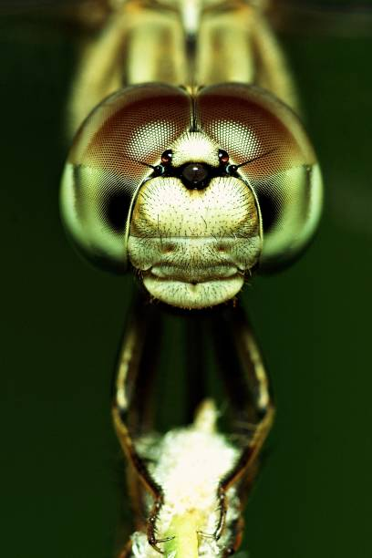 Close up butterfly face and compound eyes (vertical) stock photo