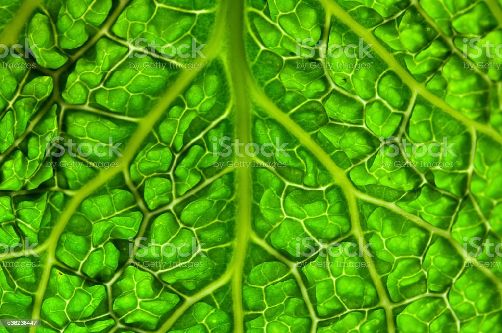 close up cabbage leaf royalty-free stock photo