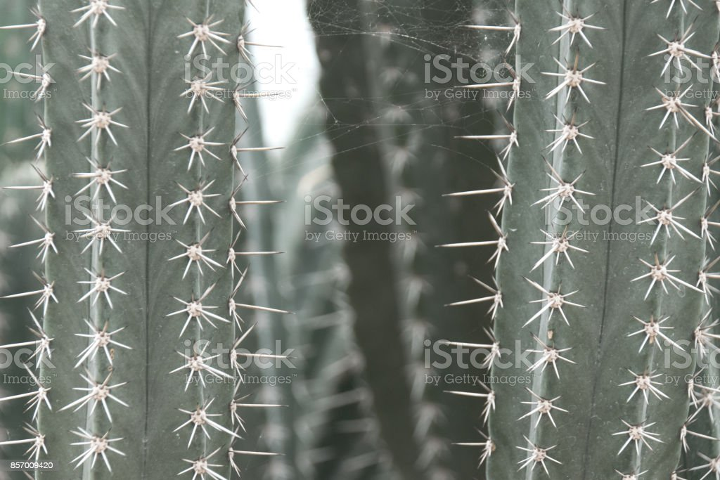 Close up Cactus with thorns and spider web stock photo