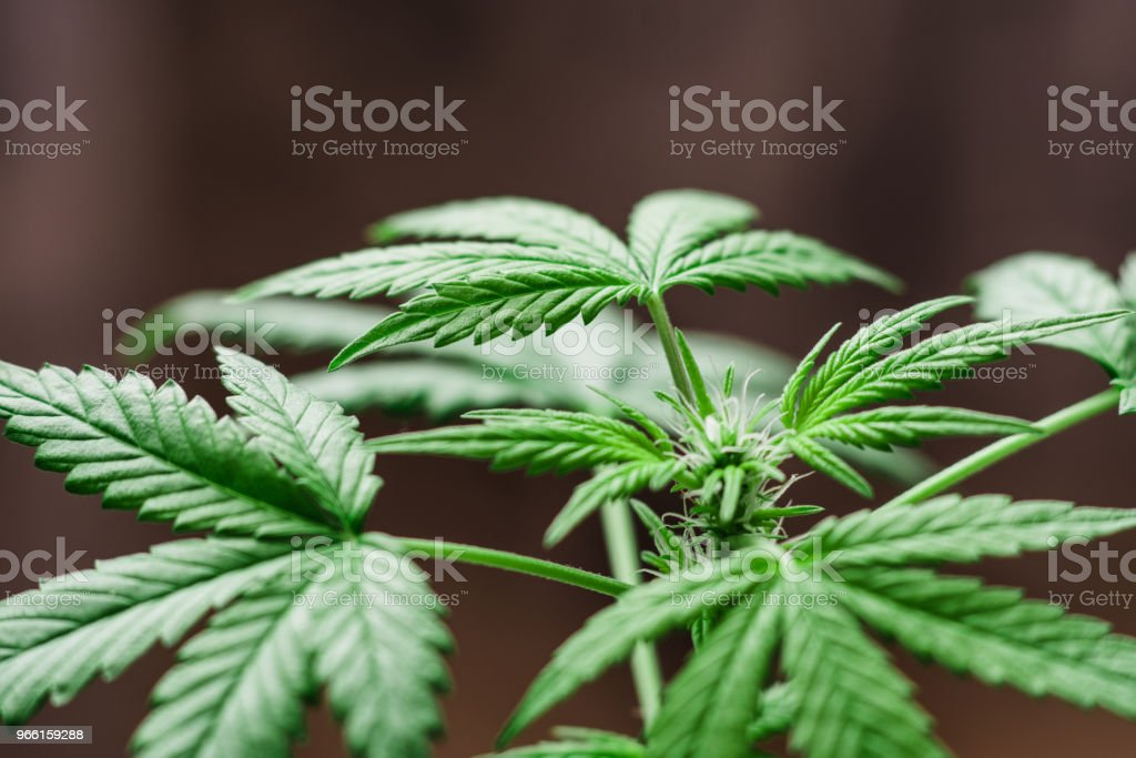 Close up cannabis in the garden young juicy and the growing close up indo - Royalty-free Blossom Stock Photo