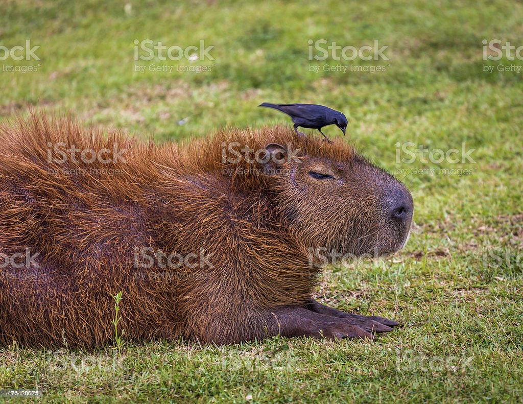Close up Capybara with bird on head stock photo