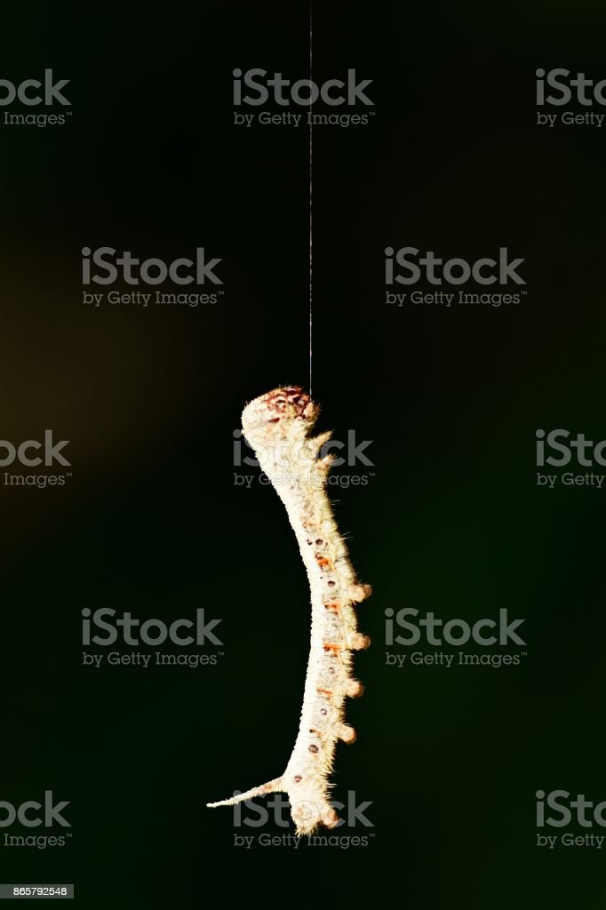 Close up caterpillar pulling up itself on web (vertical, black background) stock photo