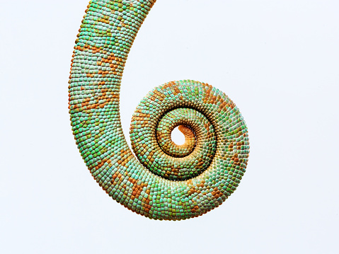 Close up baby chameleon tail rolled up against gray background. Horizontal studio photography from a DSLR camera.