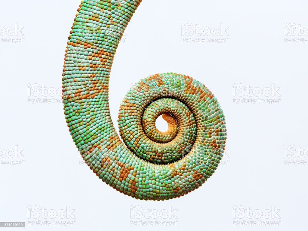 Close up chameleon tail rolled up stock photo