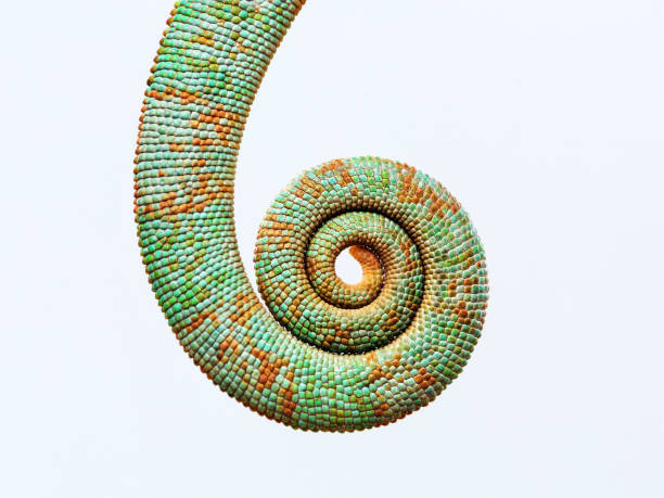 close up chameleon tail rolled up - tail stock photos and pictures