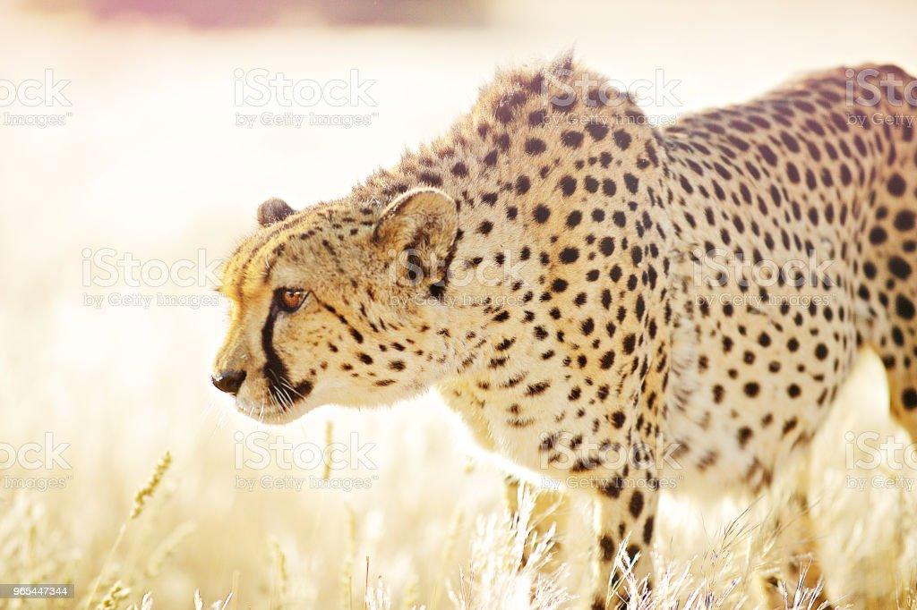 Close up Cheetah approaching in golden grass zbiór zdjęć royalty-free