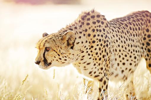 황금 잔디에 접근 하는 치타를 닫습니다 0명에 대한 스톡 사진 및 기타 이미지