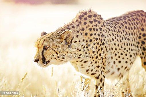 Close Up Cheetah Approaching In Golden Grass - Stockowe zdjęcia i więcej obrazów Afryka