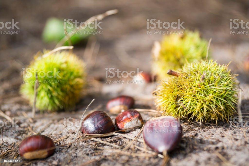Close-up van kastanjes en shell, gevonden in nationaal park Oisterwijkse Vennen, Nederland foto