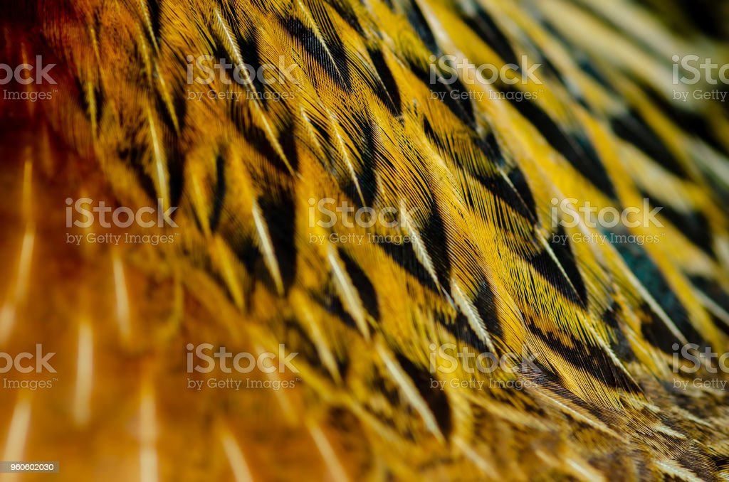 Close up chicken feathers background. Jungle Fowl chicken. Depth of field (DOF) effect. stock photo