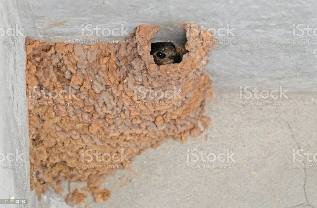 Closeup Cliff Swallow Baby with Clay Cliff Swallow Nest on The Ceiling