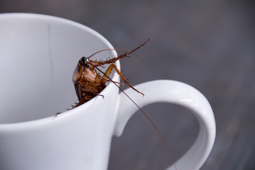 istock Close up cockroach in white cup drink 664276272
