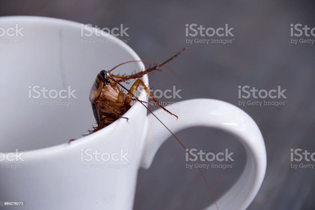 Close up cockroach in white cup drink - foto stock