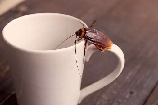 istock Close up cockroach on white cup drink 664276144