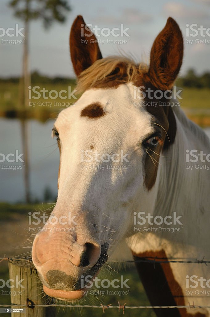 Close up, Color Image of Horse Behind Barbed Wire Fence stock photo