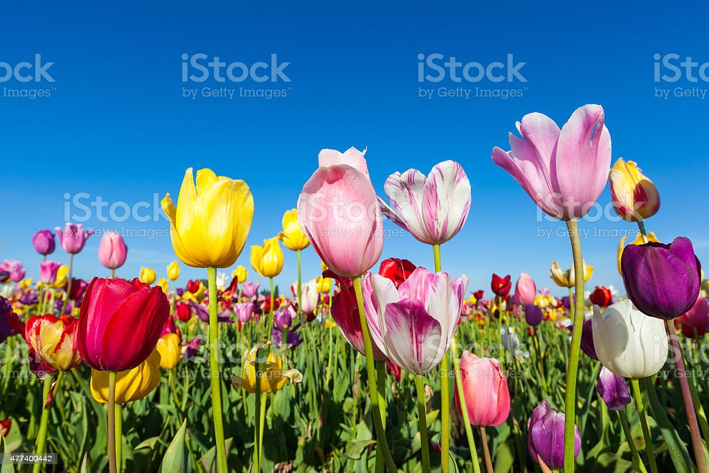close up colorful tulips in tulip field stock photo