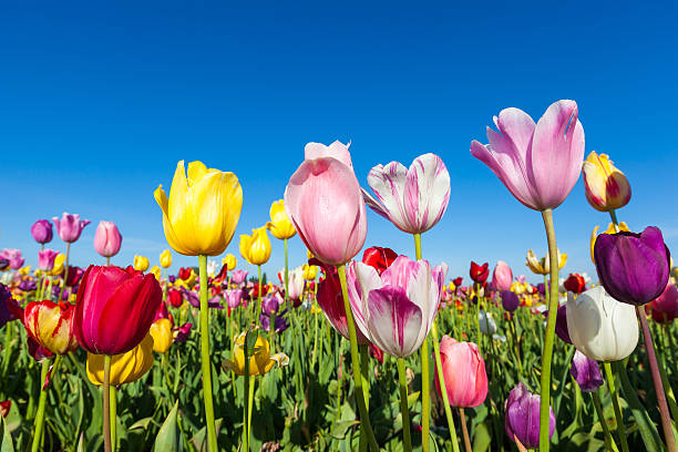 close up colorful tulips in tulip field​​​ foto