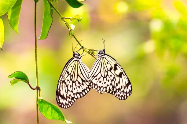 Close up common butterfly on flowers picture id1053115478?b=1&k=6&m=1053115478&s=612x612&w=0&h=vjapljjbvlj1zqdzsmcadssb0bjdssa20hvf8ebq0hc=