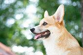 istock close up corgi dog in the garden outdoor, summer sunny day 1063343126