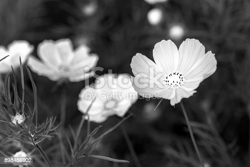 Close up cosmos bipinnatus flowers shine in the flower garden with colorful shimmering bonsai and beautiful. This flower is like stars sparkling in the sky