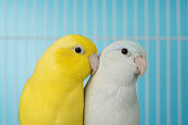Close up couple bird parrot parakeet forpus american yellow and white color in cage on blue background