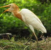 Close up photo of crane bird in Green grass and best background.